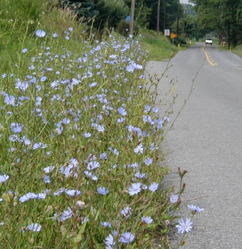 Chicory flowers along the road.