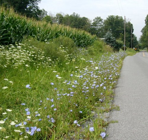 Chicory decorates country roads.