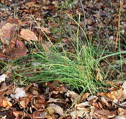 Chives is our only herb harvested fresh outside during winter.