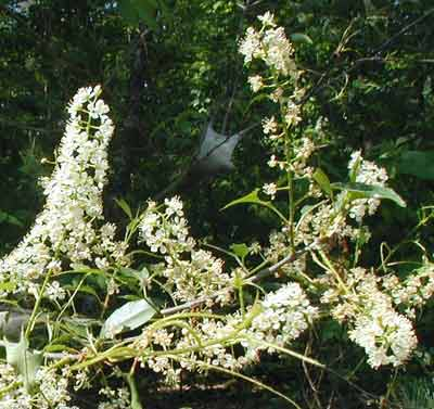 Common Chokecherry flowers occur in elongated clusters.