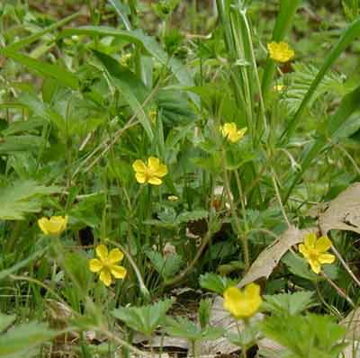 Bright yellow flowers in the yard are five-petaled cinquefoil.