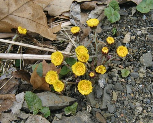 Coltsfoot flowering with few leaves present.