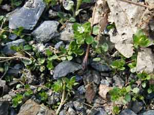 Chickweed growing among the gravel on the side of the lane.