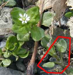 Long-stemmed leaves are an indentifying characteristic of Common Chickweed.