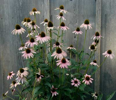 Faded purple cone flower is now a light pink.