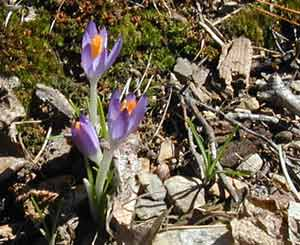 Purple crocuses blooming six hours after the snow.