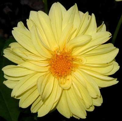 Lemony yellow dahlia.