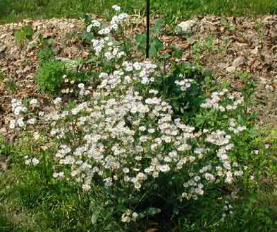 Daisy Fleabane appearing naturally at edge of a flower garden.