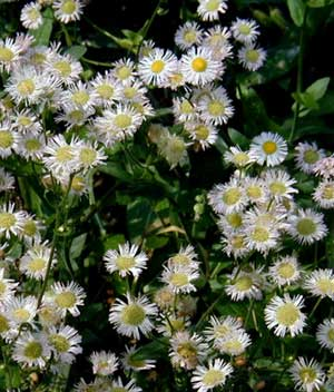 The daisy fleabane is past its prime, but you can still see many smilin' faces!