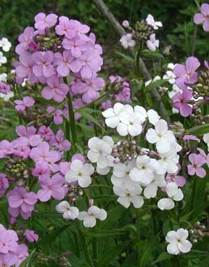 Violet and white blooms of Dame's Violet have four petals.
