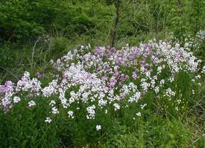 White and violet patches of Dame's Rocket give a splash of color to the Pennsylvanian roadside.
