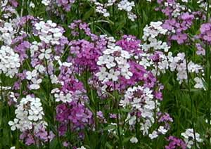 Dame's Rocket will catch your attention with its bright colors and great patches of many flowers.
