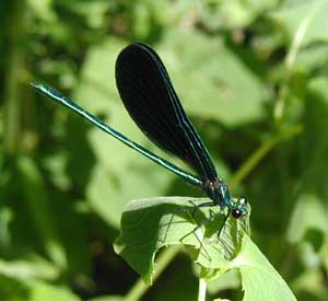 A neon green damselfly called the Ebony Jewelwing, Calopteryx maculata, briefly rests on a touch-me-not leaf along the lane.