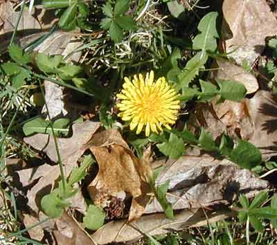 Dandelions are ok in my yard. No attempt at monoculture here!