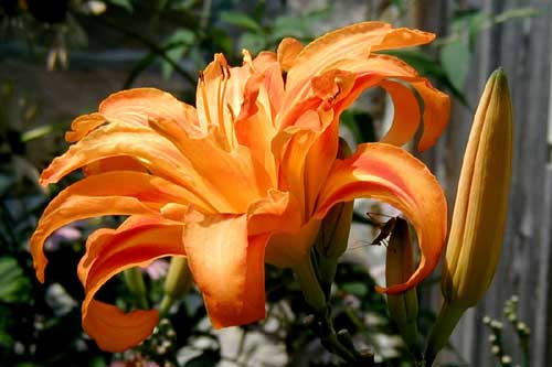 Beautiful orange double tiger lily.
