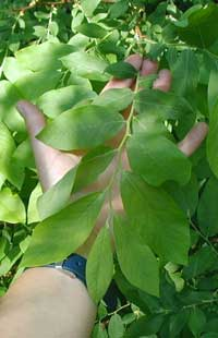 Leaves of the deerberry shrub are entire, alternating, oval, pointed and pale on the underside.