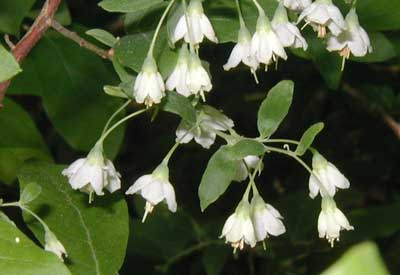 Deerberry flowers hang from racemes that have smaller leaves and bracts.