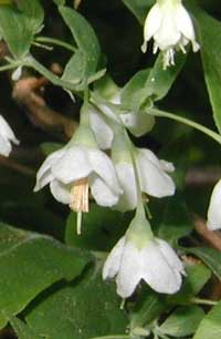 Stamens protrude beyond the edge of the deerberry flower bell, which alludes to the species name.