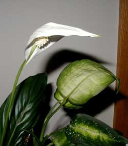 Diffenbachia sporting a pure white blossom.