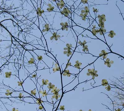 Dogwood blooms in the forest.