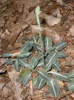 The dark, distinctive foliage of Downy Rattlesnake Plantain contrasts nicely with the tan and brown leaves on the forest floor.