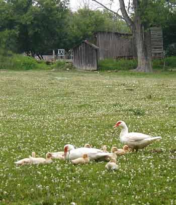 Family of ducks taking a rest in a field of clover.