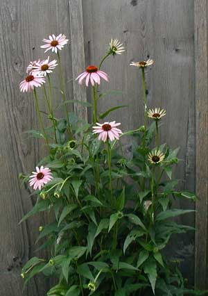 Echinacea blooming near the front door.