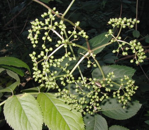 Green elderberries.