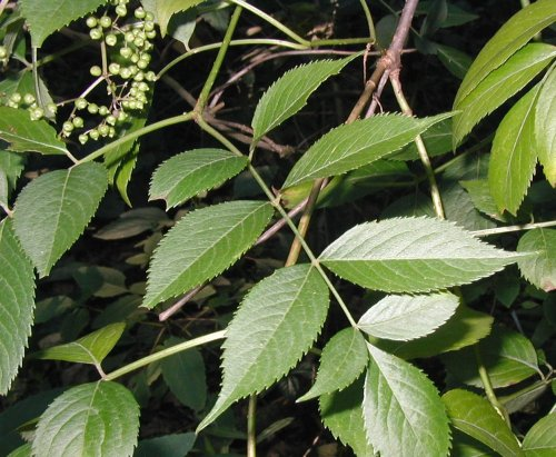 Compound leaf of the elderberry.