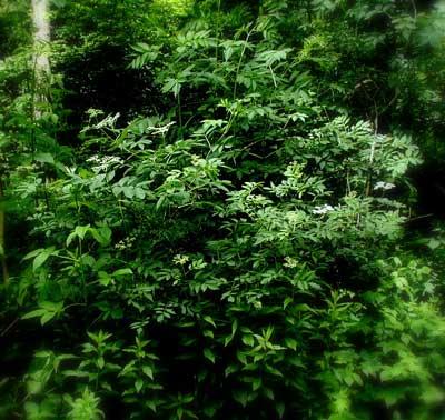 Elder trees grow from many shoots.