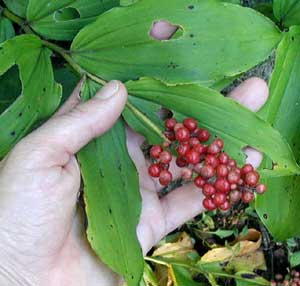False Solomon Seal berries form at the terminal ends of the two to three feet tall plants and mature to a bright red color with speckles of white.
