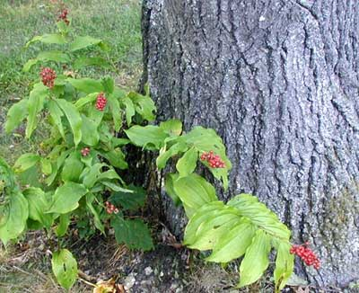 False Solomon Seal plants lend color to the area with their bright red berries that appear every autumn.