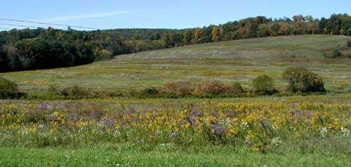 Yellow goldenrods and purple asters in a field.