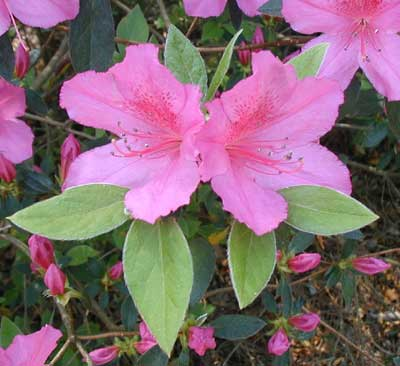 Beautiful Formosa azalea practically shouted — It's Spring!.