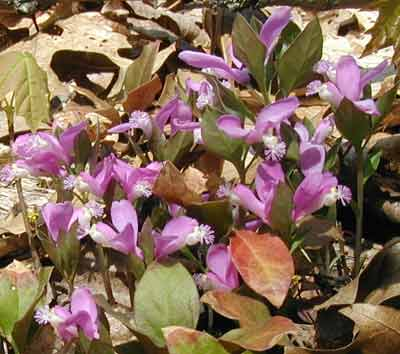 Fringed polygala, Gaywings, or Fairy Wings, are delights to see on a woodland path!