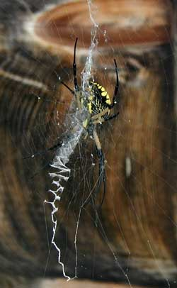 The yellow and black orb spider tends her web.