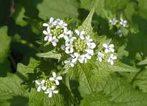Garlic mustard showing the typical four-petal flowers.