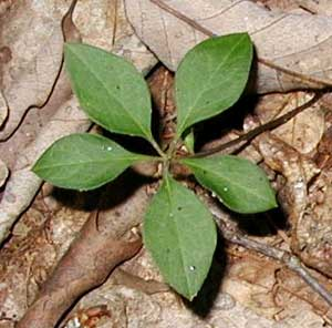 Fringed polygala leaves look similar to pogonia leaves, but are smaller, lay closer to the ground, and have branched veins.