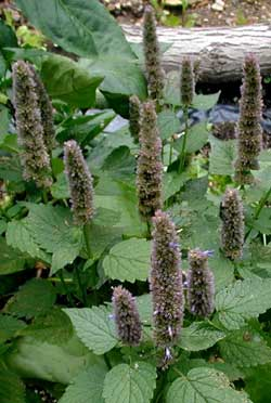 Giant blue hyssop flower heads are most impressive in size and taste.