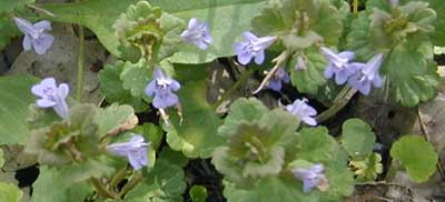 Gill-Over-the-Ground is also known as Ground Ivy and will bloom until July.
