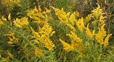 Yellow plumes of goldenrod flowers.