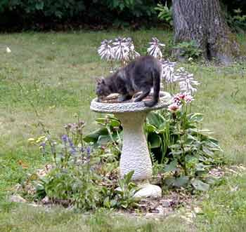 Greystokes taking a drink at the birdbath.