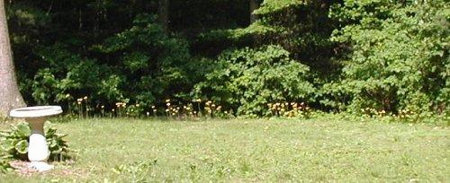 Flowering Field Hawkweed in PA.