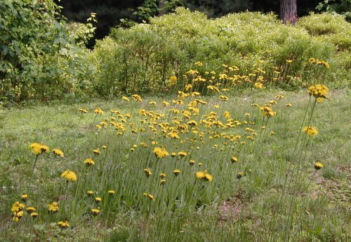 Flowering Field Hawkweed in Pennsylvania.