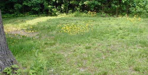 Mats of field hawkweed form their own flower beds.