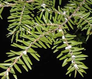 The white blobs on the underside of the Eastern Hemlock branches are Wooly Adelgid pests.