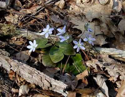 Round-lobed hepatica growing out of the end of an old fallen tree.