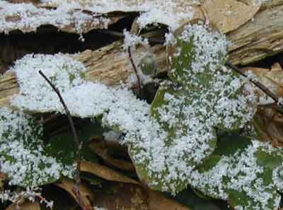 A single, closed blossom of round-lobed hepatica surrounded by its leaves catching snowflakes.