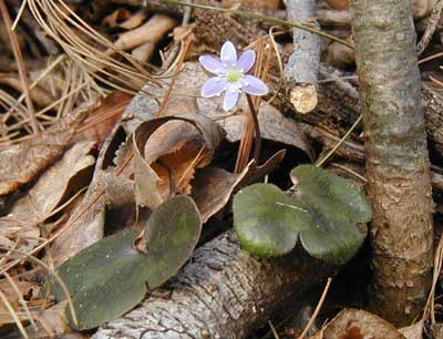 Round-leaved hepatica in bloom.