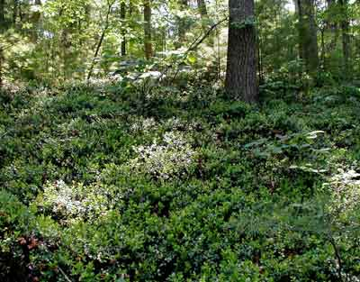 Part of the Box Huckleberry colony in the Tuscarora State Forest in Pennsylvania.